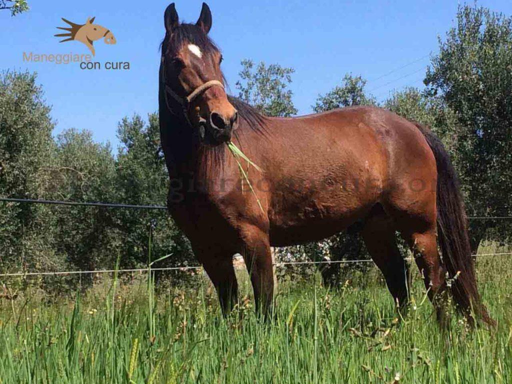 Kamal - Cavallo Mesomorfo